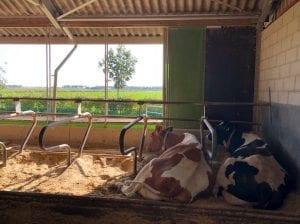 lege weilanden koeien in de stal