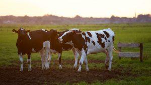 Koeienweetjes